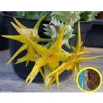 オルベア・ルテア(Orbea lutea)の種子