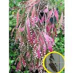 リプサリス・ラムローサ(梅が枝)(Rhipsalis ramulosa)の種子