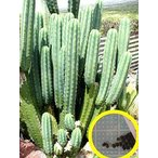 トリコケレウス・パチャノイ(多聞柱)(Trichocereus pachanoi)の種子
