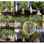 アデニウム・アラビカム種子ミックス(9種混合から抽出)