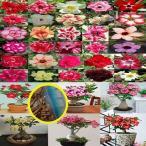 アデニウム・オベスム種子ミックス(Double Layers Flowers)