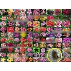 プルメリア種子ミックス(100種類から抽出)(PLUMERIA)