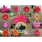 クジャクサボテン種子ミックス(Epiphyllum Hybrids Mixed)