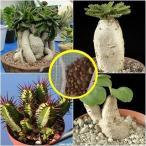 ユーフォルビア(Euphorbia)種子ミックス2