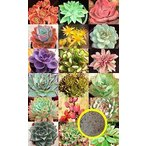 succulent_mix-suc-echeveria