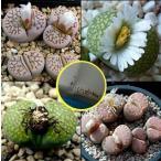 リトープスのジュリー(Lithops jullii)種子ミックス