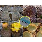 リトープス・レスリー種子ミックス(Lithops lesliei)