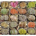 succulent_mix-suc-lithops-mixed-100
