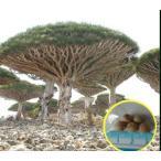 ドラセナ・ドラコ(竜血樹)の種子