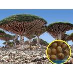 ドラセナ・ドラコ(竜血樹)(Dracaena Draco)のフレッシュ種子