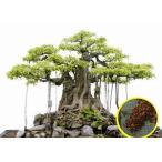 succulent_msc-frg-ficus-benghalensis