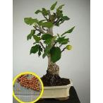 タネから育てる フィカス・カリカ(イチジク)(Ficus carica)の種子