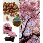 日本の桜の盆栽用種子(Japanese Cherry Sakura Prunus serrulata)