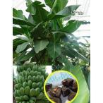 ダージリンバナナ(Musa sikkimensis)の種