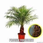 シンノウヤシ(フェニックス・ロベレニー)(PHOENIX ROEBELENII)の種子