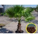 ワシントンヤシ(Washingtonia Filifera Palm Tree)の種子