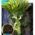 ビカクシダ・スパーバム(Platycerium superbum)の胞子(種子)