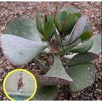 アドロミスクス イナモエヌス(Adromischus inamoenus)の種子