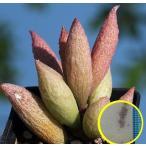 アドロミスクス・マリアナエ・インマクラツス(Adromischus marianae var. immaculatus)の種子