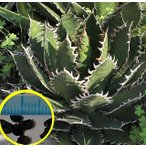 アガベ・オテロイ(Agave oteroi)の種子