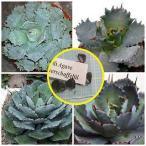 アガベ・ポタトルム・ベルシャフェルティー 怒雷神(Agave potatorum var. verschaffeltii)の種子