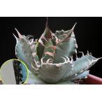 アガベ・チタノータ(Agave Titanota)の種子