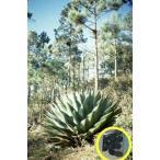 アガベ・モンタナ(Agave montana)の種子