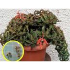 アロエ・カスティロニアエ(Aloe castilloniae)の種子