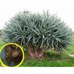 アロエ・ラモシッシマ(Aloe Ramosissima)の種子