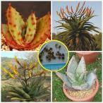 アロエ・スペクタビリス(鬼王錦)(Aloe spectabilis)の種子