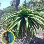 アロエ・アロイデス(Aloe alooides)の種子