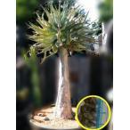 アロエ・ ディコトマ(Aloe Dichotoma)の種子