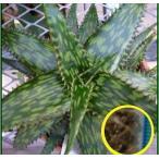 アロエ 長者錦(Aloe parvibracteata)の種子