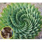 渦巻きアロエ ポリフィラ(Aloe Polyphylla)の種子
