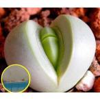 アルギロデルマ 銀鈴(Argyroderma testiculare)の種子
