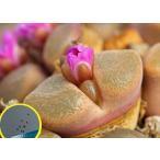 コノフィツム・ベリコーサム(Conophytum verrucosum)