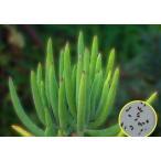 コチレドン オービキュラータ フラナガニー(Cotyledon Orbiculata var. flanaganii)の種子