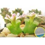 コノフィツム・デビウム(Conophytum devium)の種子