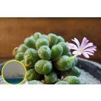 コノフィツム・フレーリー(Conophytum fulleri)の種子