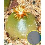 コノフィツム・ハンメリー(Conophytum hammeri)の種子