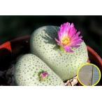 コノフィツム・ジュクンダム・ルスキー・スペシオスム(Conophytum jucundum ssp. ruschii speciosum)の種子20粒パッケージ