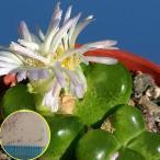 コノフィツム・リンピーダム(Conophytum limpidum)の種子