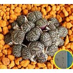 コノフィツム・ウィッテベルゲンセ(Conophytum Minimum Wittebergense)の種子