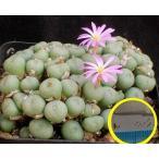コノフィツム・ミヌツム(群碧玉)(Conophytum minutum)の種子