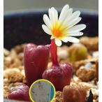 コノフィツム・ペルシダム(Conophytum Pellucidum)の種子