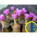 コノフィツム・プラエセクツム(Conophytum praesectum COP272-27)の20粒種子パッケージ