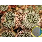 コノフィツム・ウルスプルンギアナム(Conophytum ursprungianum)の種子