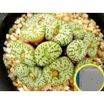 コノフィツム ウビフォルメ(Conophytum uviforme)の種子