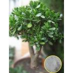 クラッスラ 花月(金のなる木)((Crassula Ovata))の種子
