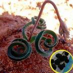 ディプカディ ・リギディフォリウム(Dipcadi rigidifolium)の種子